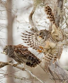 Barred owl pair mating by Ron Bielefeld