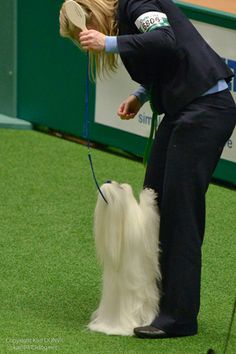 Crufts 2013: Toy and Utility Breeds on Day Two    By Bo Bengtson