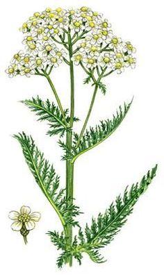 botanical print yarrow