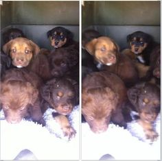 Meet Labrador Retriever Mix Puppies (Sherburne, NY), a Petfinder adoptable Labrador Retriever Dog | Rochester, NY | These puppies were rescued from a high kill shelter, and are now available for adoption! They have...