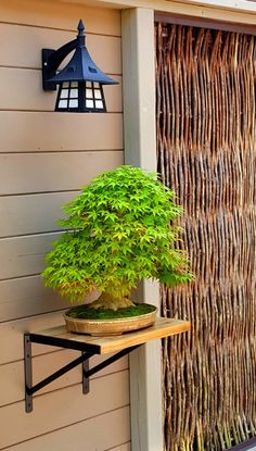 Japanese Maple Benichiodroi Bonsai Plants, Bonsai Garden, Japanese Maple Bonsai, Tree House Interior, Mulberry Tree, Deciduous Trees, Small Gardens, Ikebana, Trees To Plant