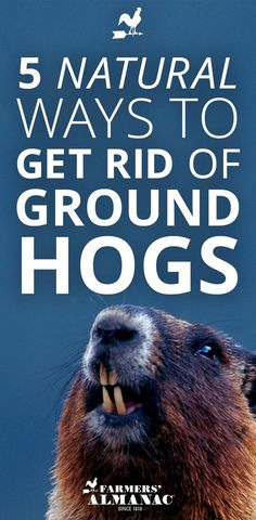 5 Natural Ways To Get Rid of Groundhogs - Farmers' Almanac - Good news! There are many ways to safely deter these pesky marmots using common items around your home and garden. No toxic chemicals!