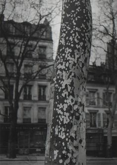 Brassaï, Plane Tree, Paris on ArtStack Plane Tree, Brassai, Photography 2017, Vintage Photography, Landscape Photography, Photo D Art, Gelatin Silver Print, French Photographers, Grand Palais