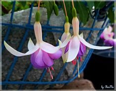 Fuchsien...by CharMa Plants, Pictures, Flowers, House, Flora, Plant, Planting