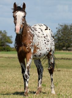 The beautiful Appaloosa horses Horses And Dogs, Types Of Horses, Animals And Pets, Cute Animals, Most Beautiful Horses, Pretty Horses, Animals Beautiful, Horse Markings, Horse Therapy