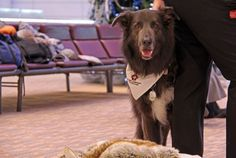 Puppy love: Winnipeg airport now features therapy dogs - http://www.newswinnipeg.net/puppy-love-winnipeg-airport-now-features-therapy-dogs/