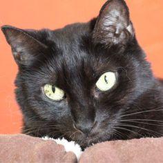 Kurtie, adoptable cat at Cat Depot