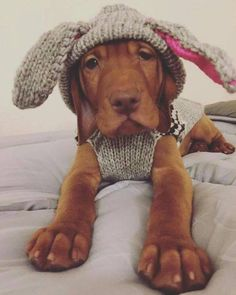 """Vizsla Pup ~ Classic """"It's a Bird, It's a Plane, It's a."""" Look.it's Anne on the pins again, so cute Vizsla Puppies, Cute Puppies, Cute Dogs, Dogs And Puppies, Beagle, Doggies, Weimaraner, Animals And Pets, Baby Animals"""