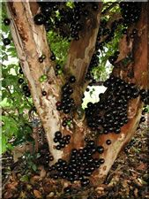 Jaboticaba tropical fruit - The jaboticaba forms a small bushy tree that has multiple ornate stems. The fruit are grape-like with a thick skin & melting pulp. They are eaten as fresh fruit, in jams and in wine. They can be frozen whole to enjoy throughout the year. Because the fruit occurs on the old growth it is best never to prune them. They are especially cold hardy plants, and they like a lot of water.