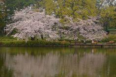 566:「大宮公園は舟遊池がありますが、舟遊びはできません。ただ、周囲にはさくらの木も多く、水面に映り込むさくらは綺麗です。」@大宮公園