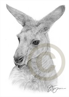 Australian Kangaroo pencil drawing print - A4 size - artwork signed by artist Gary Tymon - Ltd Ed 50 prints only - pencil portrait
