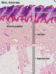 44 Best Histology Small Intestine Images Anatomy