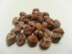 100 A+ Organic Hawaiian Baby Woodrose Seeds(Genuine Hawaiian Strain) Untreated Argyreia Nervosa by M.M.H. $16.00. 100 Genuine Hawaiian Strain Seeds. Buy two or more and automatically upgraded to expedited shipping!!. Organic and Untreated. Fresh Viable. Common Name: Hawaiian Baby Woodrose Botanical Name: Argyreia Nervosa