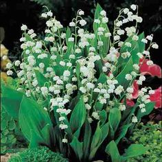 "Lily of the Valley | White Lily of the Valley plants thrive in full shade on the north side of your home where few plants will live. Lily of the Valley also do just as well right out in the full sun. Spreads rapidly to form a lush carpet of rich green foliage only about 8-10"" tall. Can be used as cut flower in arrangements. Deer resistant. For a rain garden."