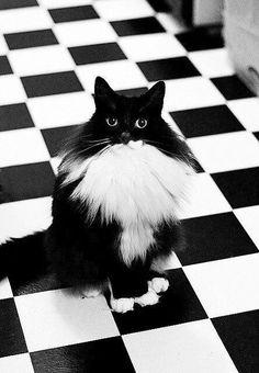 chat caméléon