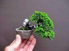 The Slanting Style in Bonsai - Gardening Site Terrarium Plants, Bonsai Plants, Bonsai Garden, Bonsai Trees, Topiary Trees, Minis, Mame Bonsai, Indoor Bonsai Tree, Juniper Bonsai
