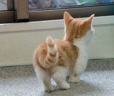 """にゃ(*´ω`*) """"@munekyun_zukan: マンチカンの子猫のおしり♡ """""""