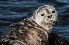 divoký tuleň,Island