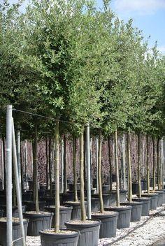 goedkoper en winterhard alternatief voor olijfboom, steeneik quercus ilex | groenblijvend