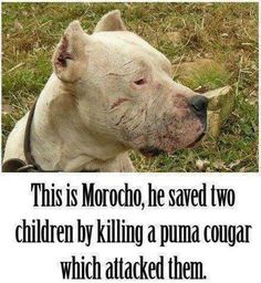 Pit bull dog hero. Pit Bulls can really be nice when TRAINED PROPERLY. They can be loyal and great guardians. (not to mention great with kids)
