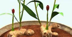 Υγεία - Το τζίντζερ είναι ένα από τα θαυμαστά εκείνα φυτά που αναπτύσσονται σε μερικώς σκιερά μέρη, πράγμα που το κάνει ιδανικό για καλλιέργεια μέσα στο σπίτι, όπο Garden Boxes, Ikebana, Permaculture, Garden Paths, Trees To Plant, Botanical Gardens, Agriculture, Vegetable Garden, Indoor Plants