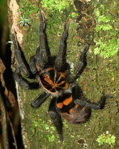 Pumpkin patch tarantula