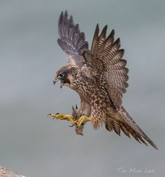 Photo Peregrine Falcon in Flight by Tin Man on 500px