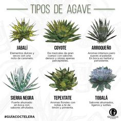 Tipos de agave - Agave Plants that make Mezcal from Mexico - Pictures and Explanations Tequila Agave, Mezcal Tequila, Mezcal Cocktails, Agaves, How To Make Tequila, Wine Recipes, Mexican Food Recipes, Agave Plant, Garden Animals
