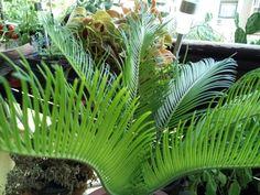 cikász hajtatása Plants, Gardening, Lawn And Garden, Plant, Planets, Horticulture
