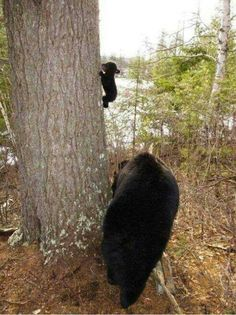 Baby's first climb.  Image by the North American Bear Center/Wildlife Research Institute, via Dr. Carin Bondar - Biologist With a Twist.