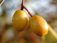 Grosellas de Puerto Rico A Tart Tasting Delicious Berry | frutas ...