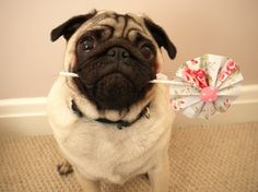 I love pugs. oh and DIY Paper Pinwheels lol but mostly I'm pinning this because of the pug