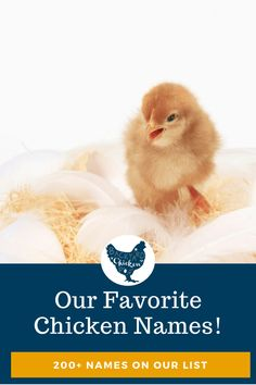 So, you brought home your new little chicks and now you need to name them. With over 200 ideas, our list of chicken names is bound to help you! Raising Backyard Chickens, Backyard Poultry, Keeping Chickens, Chicken Names, Chicken Feed, Building A Chicken Coop, Coops, The Incredibles, Fun