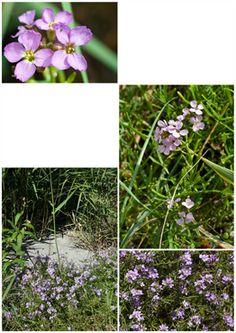 Dansk artsnavn Strandsennep.  Spiselige dele. Skulperne kan spises og har en ræddikeagtig smag. Blomsterne kan også spises.