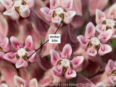 Milkweeds have very distinctive flowers, with unique shapes and features.  I guess it shouldn't be surprising that their pollination story is equally interesting.