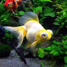 butterfly tail telescope eye yellow goldfish