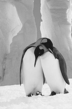 Penguin love …