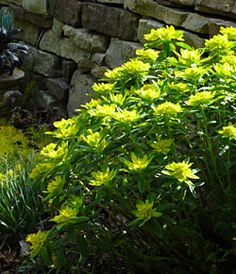 This is not a shade plant, but the picture is good. That being said Euphorbia polychroma is a very hardy perennial. There are so many euphorbias, but this one is wonderful. Dies back to nothing in the winter, one of the first plants to bloom in the spring. Mine grew in absolutely perfect mounds every year. I am not sure how this ended up on shade gardens, but this plant requires full sun.