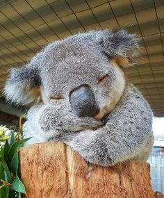 Seekor individu Koala sedang rehat siang di Port Macquarie Koala Hospital New South Wales Australia. Koala A Koala individual is taking a break in Port Macquarie Koala Hospital New South Wales Australia. Koala Repost Photo by Cute Little Animals, Cute Funny Animals, Australian Animals, Cute Animal Pictures, Cute Creatures, Pet Birds, Animals And Pets, Wild Animals, Exotic Animals