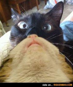 Dos gatos en uno.