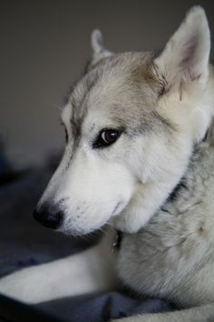 Cody, our 95 lb Husky/Malamute. He was a rescue dog, we got from the SPCA, when he was 8 months old. He is 8 years old in this picture. He is one of the best parts of our life. Both Alice and I are so attached to him and he to us. Here is is giving me a strong look; I wonder what he is thinking? #dogs #husky #malamutes #huskies (Photo by Wilfred Wong, October 9, 2011, San Francisco, CA)
