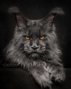 An incredible photographer by the name of Roberta Sijka shares some truly stunning photos of cats, especially the Maine coon, which has an appearance Beautiful Cats, Animals Beautiful, Cute Animals, Kittens Cutest, Cats And Kittens, Kitty Cats, Ragdoll Kittens, Tabby Cats, Funny Kittens