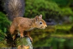 Poised: The brave squirrel looks on into the water as his nut begins to float inexorably away from him