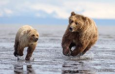 Playful Brown Bears by Marc Latremouille on 500px