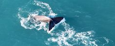 Whale Watch flights Kaikoura - Wings over Whales provide 30 minute flights off the Kaikoura Coastline to see the majestic Sperm Whales & large pods of Dusky dolphins. Flight Wings, Whale Watching, Whales, Dolphins, Surface, Tours, Deep, Animals, Animales