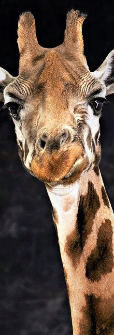 Giraffe – Photography by Lindsay Robertson Giraffe – Photography by Lindsay Robertson Giraffe Drawing, Giraffe Art, Jungle Animals, Animals And Pets, Cute Animals, Giraffe Pictures, Animal Pictures, Beautiful Creatures, Animals Beautiful
