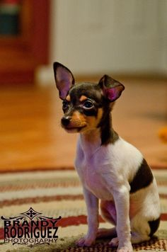 Ruger- our 9 week old Toy Fox Terrier Puppy Pics, Cute Puppy Pictures, Puppy Love, Animal Pictures, Perros Rat Terrier, Terrier Puppies, Cute Puppies, Cute Dogs, Baby Animals