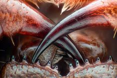 Poison Fangs Of A Centipede