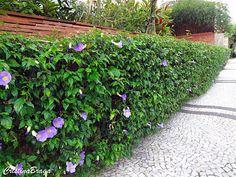 Tumbérgia arbustiva - Thumbergia erecta