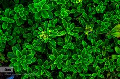 Green leaves by photoevecolon
